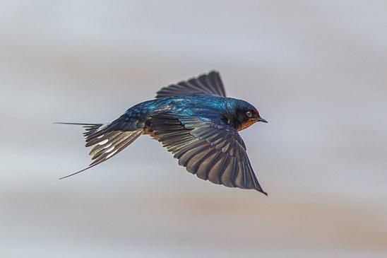 הקפאת התעופה התזזיתית של סנונית  הרפתות מראה כמה יופי מתפספס עקב קוצר ראייתנו (צילום: ערן גיסיס)