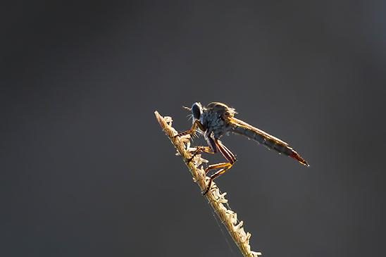 זבוב טורף שצולם בשעות הבוקר בשדות שפיים (צילום: צביקה שיאון)