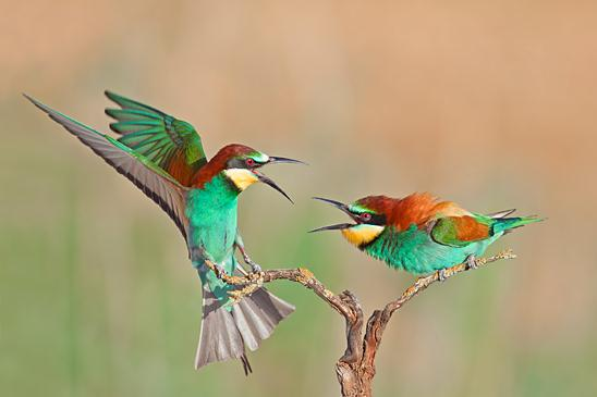 שני שרקרקים מצויים (זכרים) במריבה על הבעלות על הענף והטריטוריה שמסביב (צילום: רועי אברהם)
