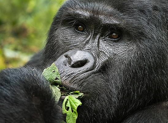 הפעם הראשונה שראיתי את גורילות ההרים בטבע בשמורת בווינדי, אוגנדה. חוויה שלא אשכח (צילום: רועי גליץ)
