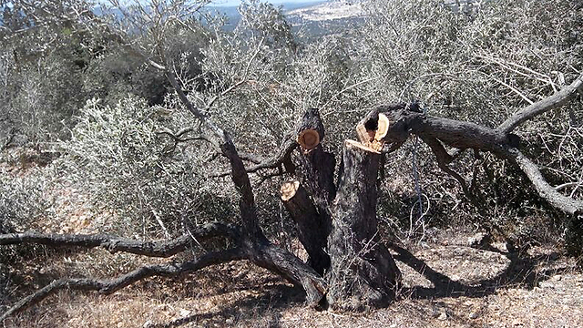 Felled trees in Yasuf (Photo: Zacharia Sadeh) (Photo: Zacharia Sadeh)