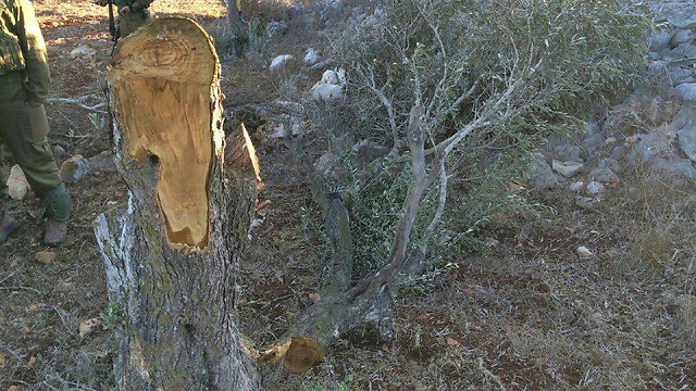 Vandalized trees in Burin (Photo: Israel Police) (Photo: Israel Police)