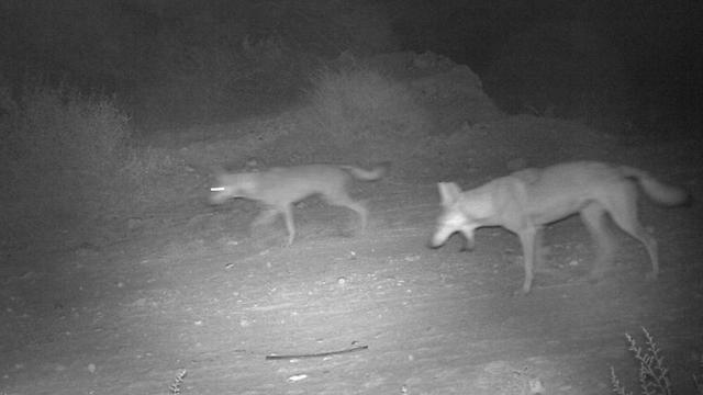 צמד זאבים מחפש אחר טרף ומזון (צילום: מרכז יונקים, החברה להגנת הטבע)