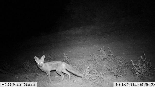 שועל מצוי מגיח לביקור לילי (צילום: מרכז יונקים, החברה להגנת הטבע)