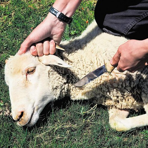 Овцы на мясо в домашних условиях 809