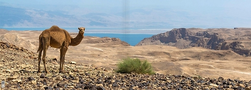 A camel on the way to the Arugot observation point, near the Dead Sea  (Photo: Ittay Bodell)