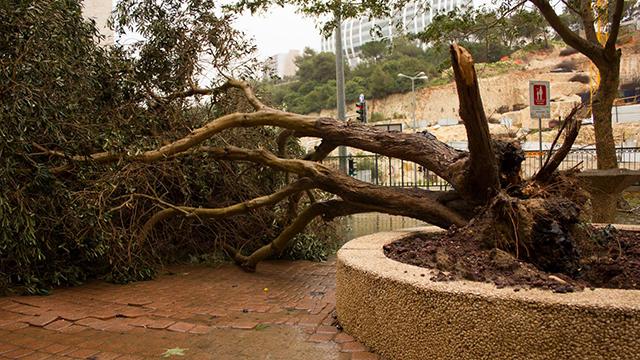 עץ שקרס בחיפה (צילום: סתיו פאולמן )