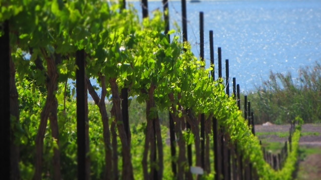 Vineyard in the Galilee (Photo: Courtesy)