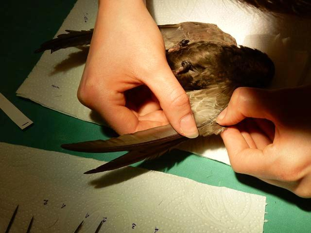 Steigerwald carefully inserts each feather into its proper place (Photo: Shmulik Landau, the Wildlife Hospital)