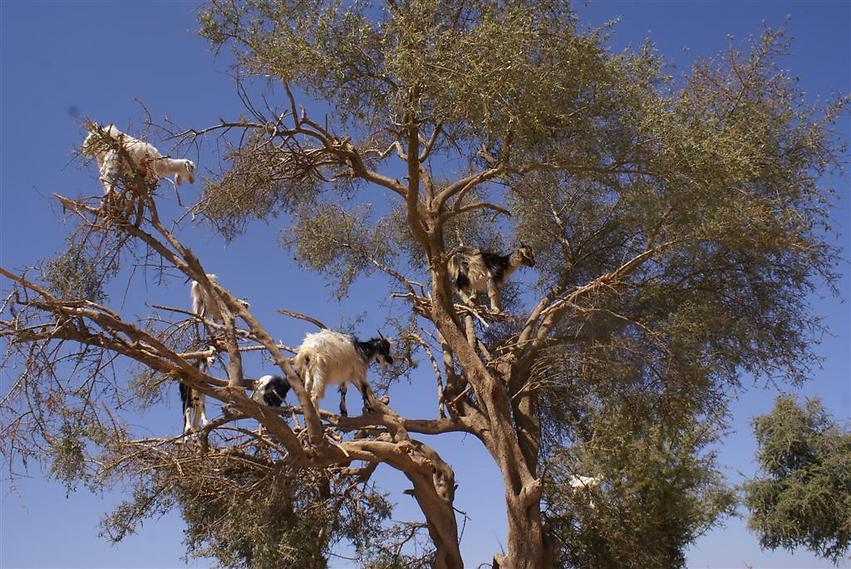 עץ העזים בדרך למדבר סהרה (צילום: אלפרד תאומים)