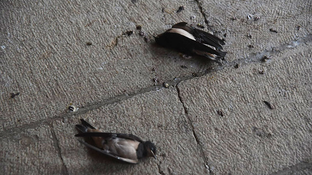 הציפורים שמתו בכנסייה (צילום: אביהו שפירא)