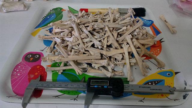 עצמות תרנגולות מאתר מרשה (צילום: החוג לארכיאולוגיה אוניברסיטת חיפה)