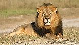 האריה ססיל (צילום: AP/Andy Loveridge)
