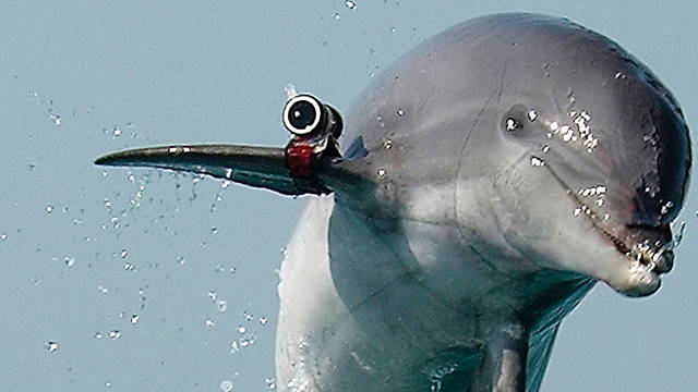 The deadly face of a dolphin spy. The US trains dolphins for military monitoring missions. (Photo: Gettyimages)