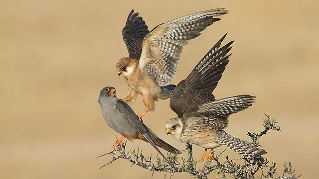 The winning photo: A trio of red-footed falcons (Photo: Amir Ben-Dov)