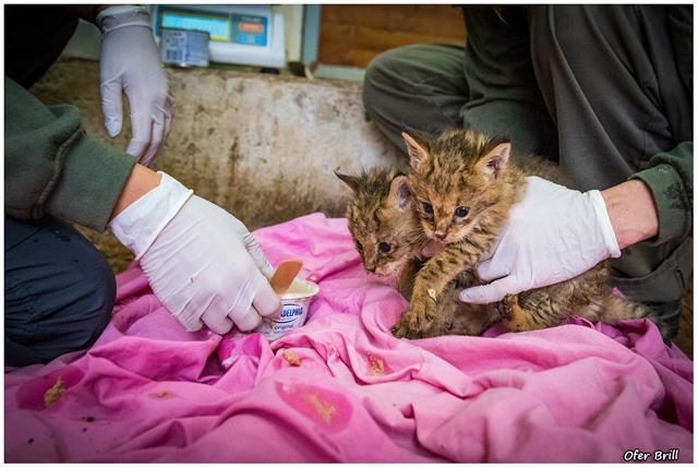 בבית החולים מורגלים בטיפול בחיות בר יתומות, ביניהם גם בעופרי צבאים, דורבנים, קיפודים וגם ציפורי שיר ועופות דורסים. (צילום: עופר בריל)