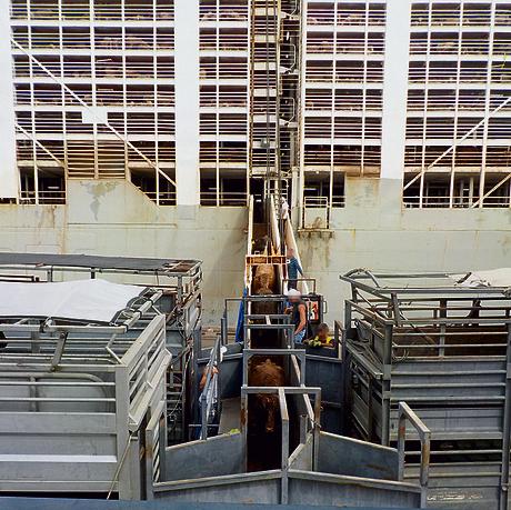 """פריקת עגלים מסיפון """"MAYSORA"""". נציג החברה: """"זו ספינה מאוד נוחה"""" ()"""