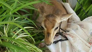 Fawn illegally-held by Palestinians rescued by IDF