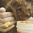 קיפוד מטופל בדבש צילום: באדיבות הספארי