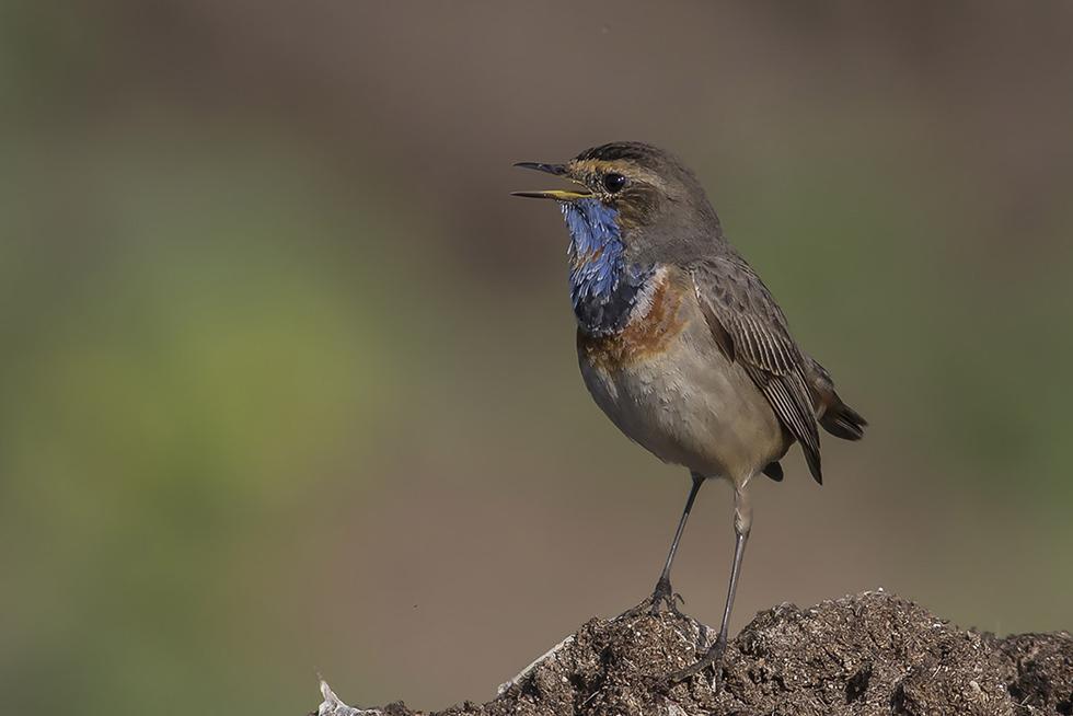 כחול חזה (צילום: אילן מנשה) ()