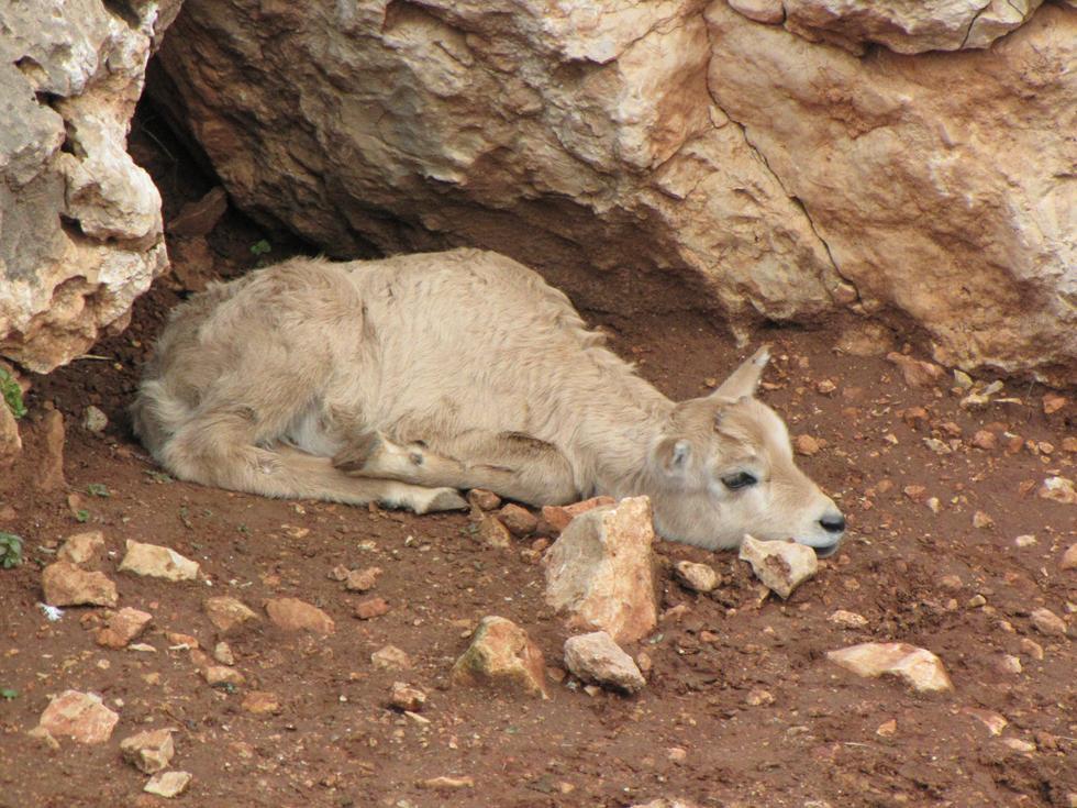 """הראם הלבן """"אופל"""" (צילום: יערה FOREST תמרי, גן החיות התנ""""כי ירושלים)"""