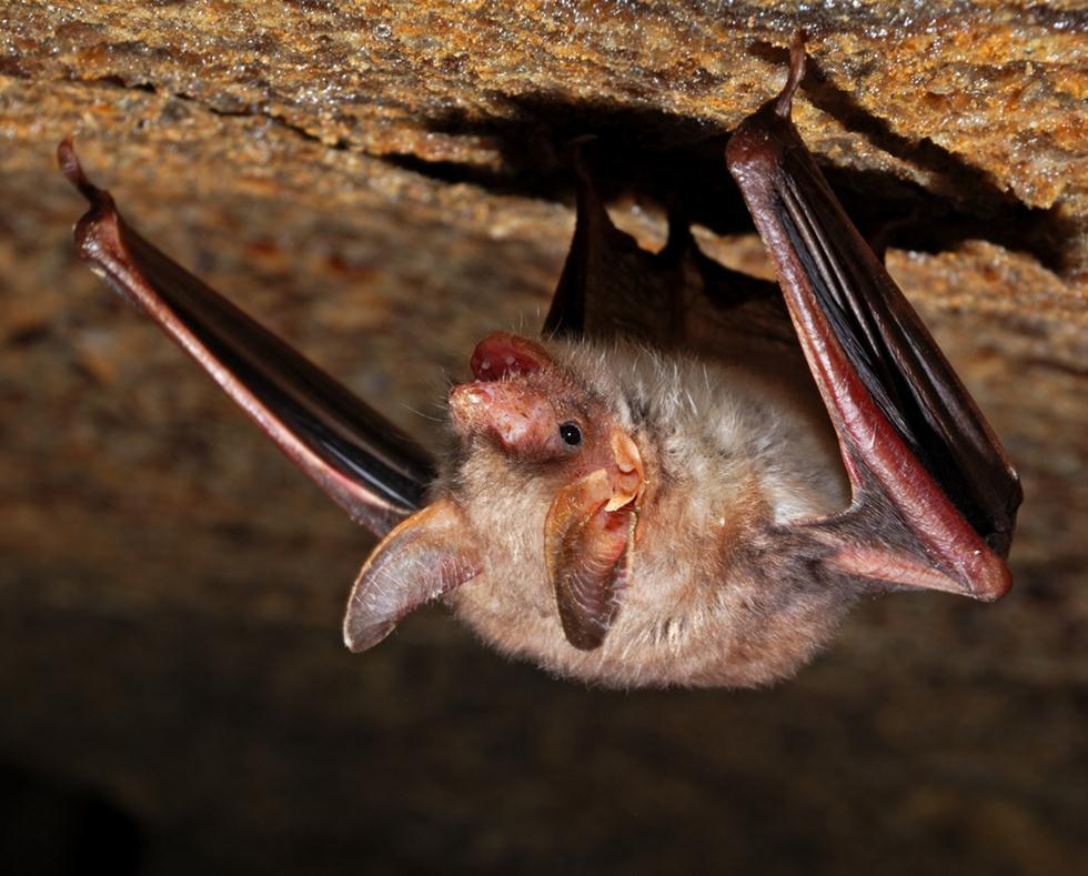 עטלף חרקים. תרדמת חורף במערה (צילום: shutterstock)
