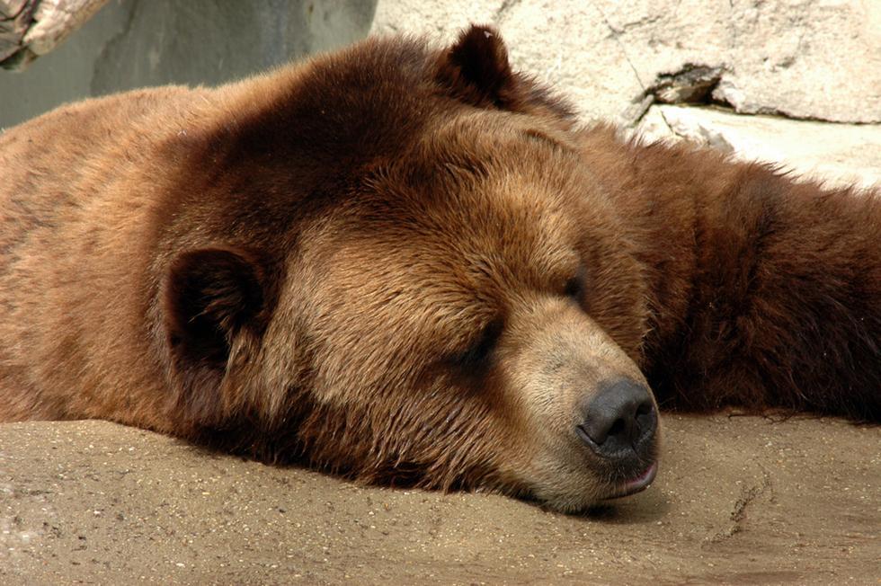דוב גריזלי (צילום: shutterstock)