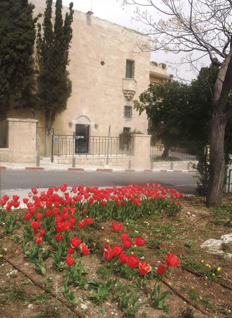 Тюльпаны в Иерусалиме