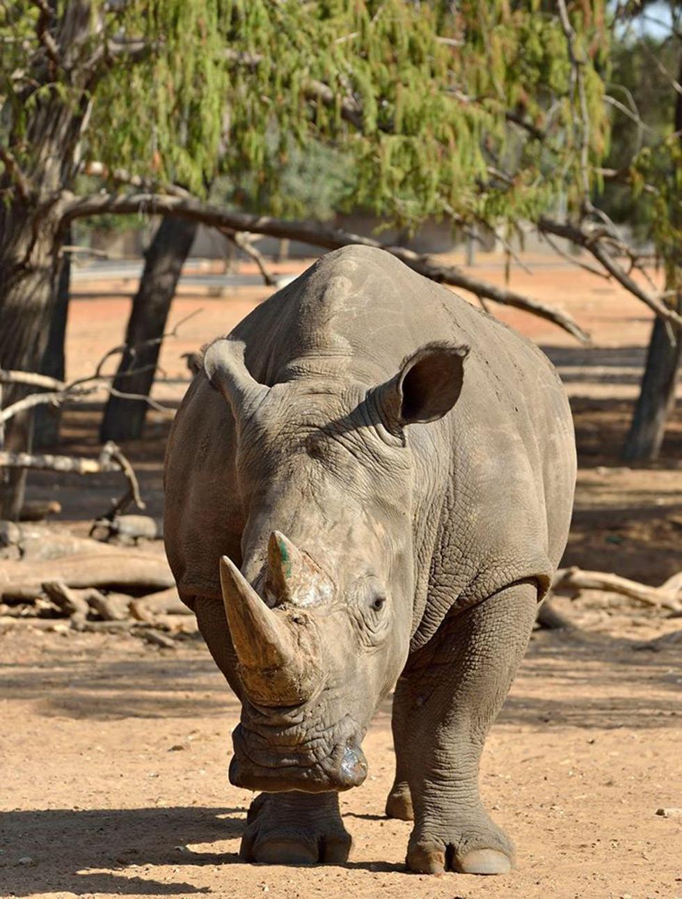 """Носорог Тибур. Фото: """"Сафари"""" Рамат-Ган"""