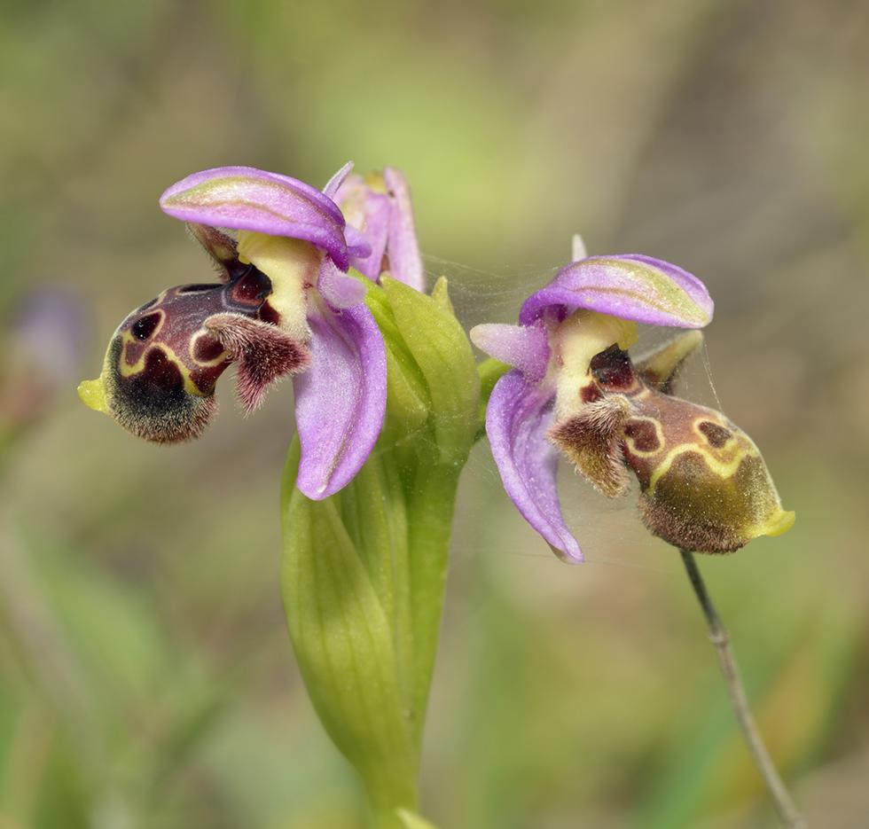 לא דבורים, רק פרחים. פרחי הדבורנית מחקים דבורים נקביות, כדי למשוך את הזכרים (צילום: shutterstock)