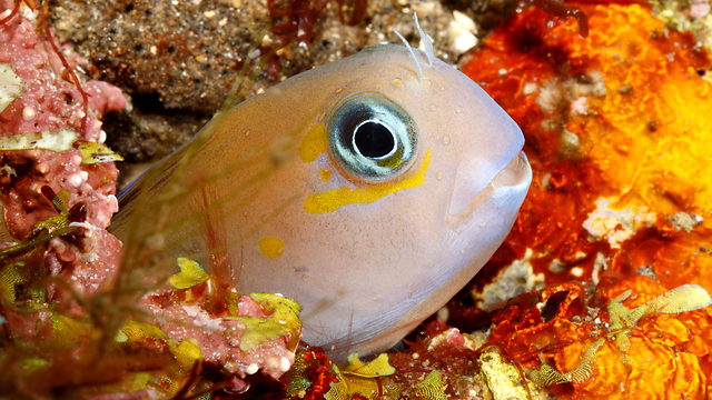 כמו דג מחוץ למים. דג ממשפחת הקרנוניים  (צילום: Shutterstock)
