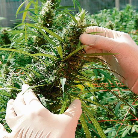 מריחואנה רפואית.על פי אומדן המשטרה, 30־20 אחוז מהמריחואנה הרפואית זולגים לשימוש הבלתי חוקי