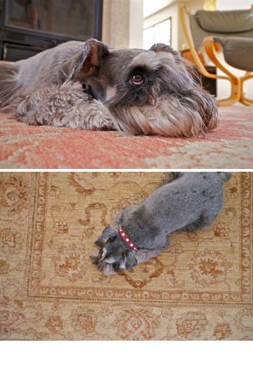 מדיירי הבית: דקסטר, כלב שנאוצר ננסי בן 8 (צילום: איתי סיקולסקי)
