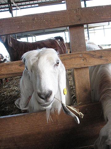 """ביקור אצל עז תוססת ב""""שביל העיזים"""". מתחילים את הסיור בבטן מלאה במחלבה (צילום: מיכאל יעקובסון)"""