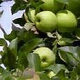 עץ תפוח. הפרי מתפתח מפרח אחד