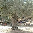 עץ זית בעמק המצלבה בירושלים