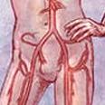 שלב הריגוש מתחיל בעליית לחץ הדם , וזרימה של כמויות דם גדולות אל איברי המין
