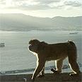 קוף מטייל בחופי גיברלטר