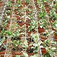 השקיית צמחים בחממה באמצעות טפטוף
