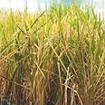 האורז המוזהב. פותח בשיטות ההנדסה הגנטית