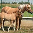 סוס משובט. במרוצת השנים שובטו בעלי חיים נוספים