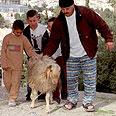כבש מובל לשחיטה לכבוד חג הקורבן