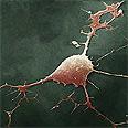 תא עצב (נוירון) במערכת העצבים