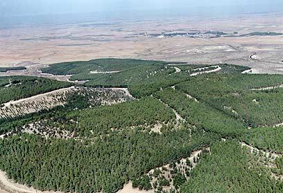"""מיליוני עצים. יער יתיר (צילום: ארכיון הצילומים של קק""""ל) (צילום: ארכיון הצילומים של קק"""