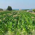 שדה טבק. צילום: עומר הכהן