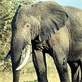 פיל - יונק גדול