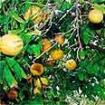 עץ אשכולית
