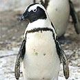 פינגווין.