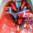הלב, משאבת הדם המרכזית של הגוף