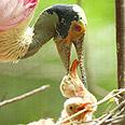 חלל הפה של הגוזל מגרה את ההורה להאכילו